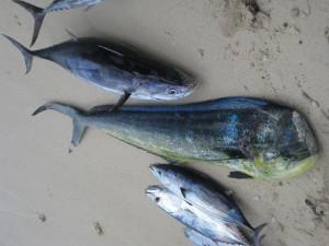 Thon bonite et dorade coryphène - Pêche au gros à l'île Maurice